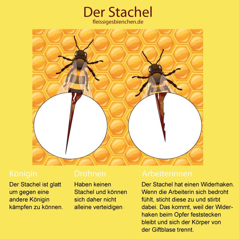 Stachel einer Biene