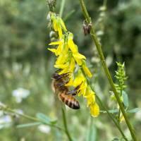 Buckfast Bienenkönigin F1