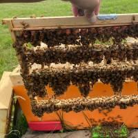 Künstlich besamte Buckfast Bienenkönigin