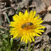Buckfast Bienenkönigin F1 Schnelllieferung: Aufschlag pro Stück