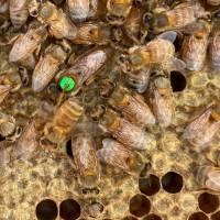 Ligustica Bienenkönigin F1 Schnelllieferung: Aufschlag pro Stück