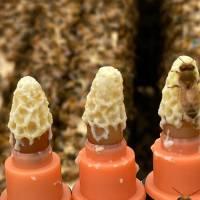 Carnica Bienenkönigin F1 in der Reihenfolge der Bestellungen
