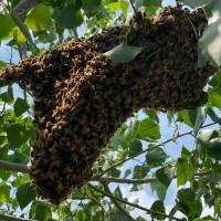 Kunstschwarm ca. 1,5 kg Bienen Frühlieferung: Aufschlag pro Stück Ligustica