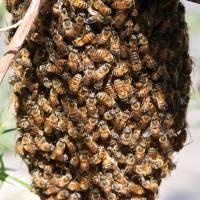 Kunstschwarm ca. 1,5 kg Bienen in der Reihenfolge der Bestellungen Buckfast
