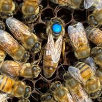 Buckfast Bienenkönigin unbegattet
