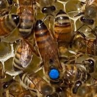 Buckfast Bienenkönigin unbegattet in der Reihenfolge der Bestellungen