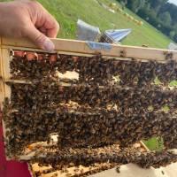 unbegattete Ligustica Bienenkönigin in der Reihenfolge der Bestellungen