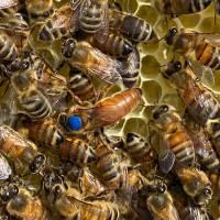 Buckfast Bienenkönigin Honiglinie