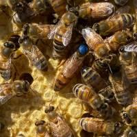 Buckfast Bienenkönigin Honiglinie Schnelllieferung: Aufschlag pro Stück
